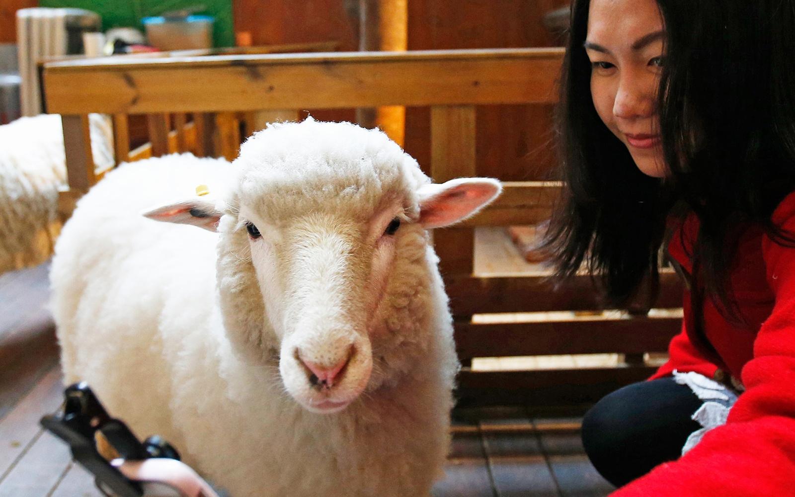 sheep0215-thanks-nature-cafe_0