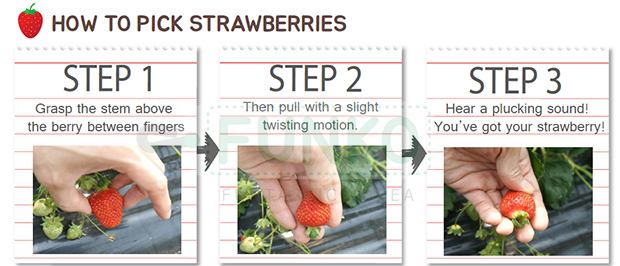 how_to_pick_strawberries