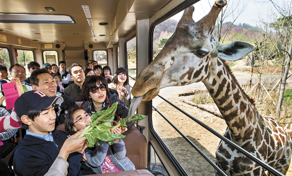 Korea_Zoo_giraffe