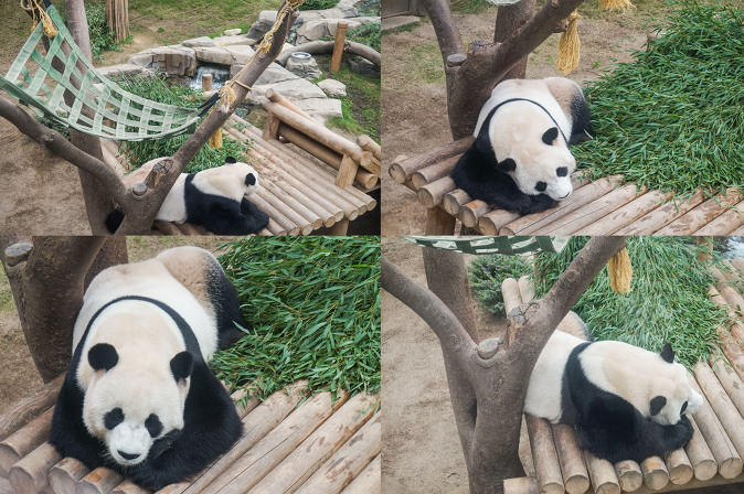 Korea_Panda