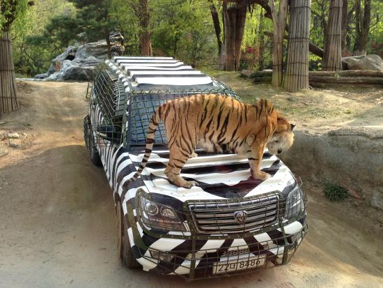 Tiger_on_Car