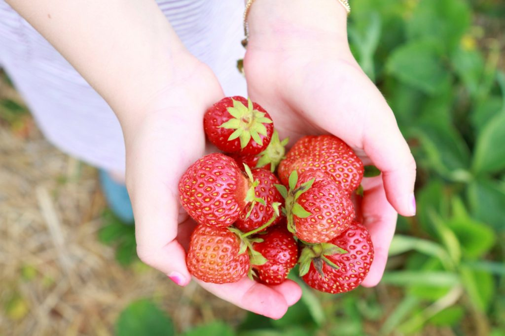 Strawberry picking in Korea : picking tips and farm locations