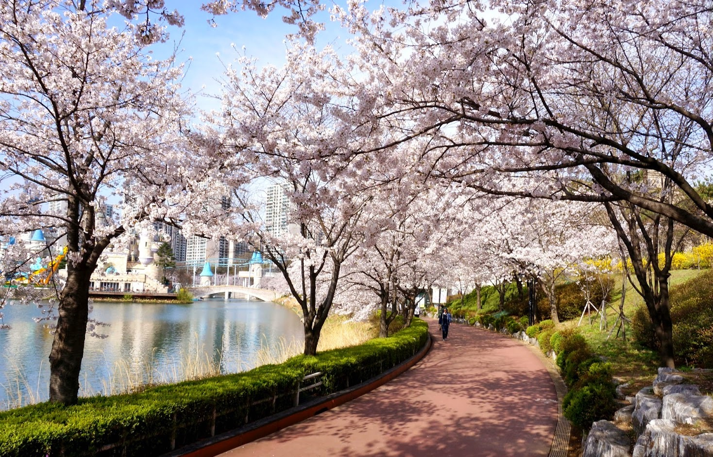 Cherry blossom in Korea – Time, Spots, Tours everything you need to know!