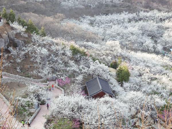 光陽梅花村