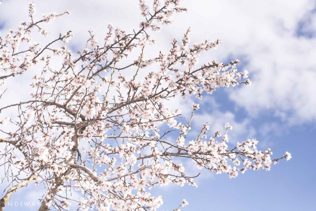 Cherry blossom in Korea 2019