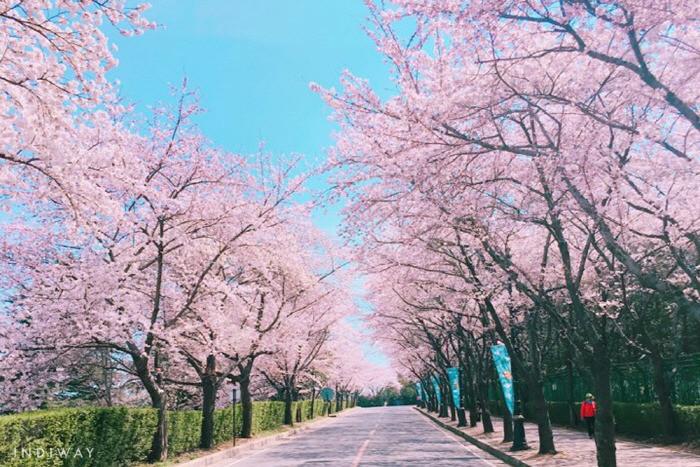jeju king cherry blossom festival seogwipo