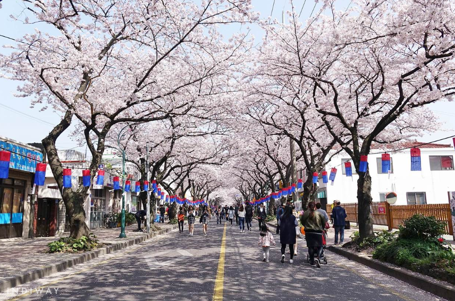 jeju king cherry blossom festival