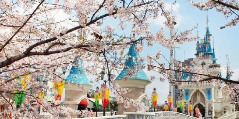 lotteworld cherry blossom