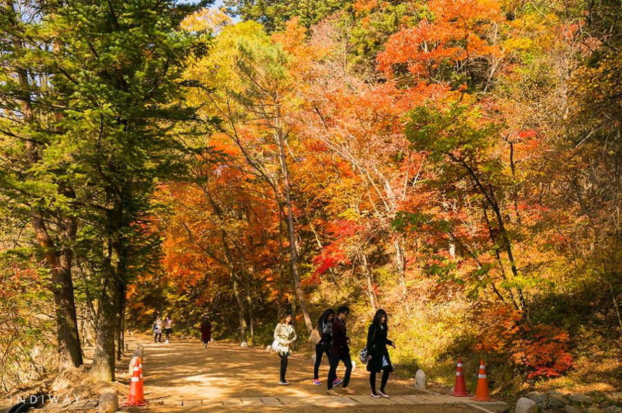 Relaxing & Romantic walk on the Fir Trees Road on the way to Wonjeongsa Temple enjoying autumn foliage in Odaesan Mountain